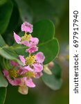 Small photo of close up Acerola cherry flower, Vitamin C fruit, Tropical fruit