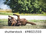happy chocolate labrador mix... | Shutterstock . vector #698021533
