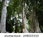 Small photo of Buttress Roots of Giant Java Almond (Canarium Row or Canarium Indicum) at Royal Botanical Garden in Peradeniya near Kandy Sri Lanka