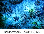Small photo of Beautiful marine life in the blue light.Amazing marine animals closeup (anemonia, actinia, anemone)