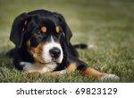 Stock photo mountain dog puppy 69823129