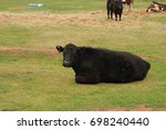 Closeup Of An Angus Cow Restin...