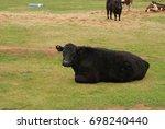 Closeup Of An Angus Cow Restin...