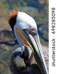 Close Up Of Pelican In Cabo Sa...