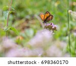 Gatekeeper Butterfly  Pyronia...