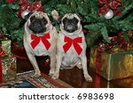 two adorable pug dogs sitting in front of christmas tree - stock photo