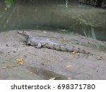 Small photo of Jacaré-açu (Melanosuchus niger) Alligatoridae family on the river bank Mamori. Amazonas, Brazil