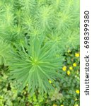Small photo of Herbaceous plant. Soft needles. Bright green.