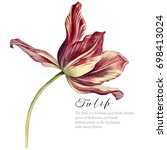 watercolor vintage tulip. red...   Shutterstock . vector #698413024