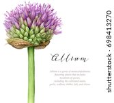 watercolor allium. botanical... | Shutterstock . vector #698413270