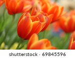 Red Orange Yellow Tulips Flowe...