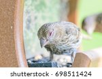 wild female house finch in at a ...   Shutterstock . vector #698511424