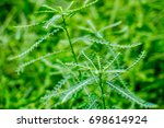 Small photo of Medicinal Plant : Phyllanthus fraternus also known as Bhu-Aamla.