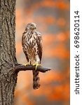 Small photo of Autumn in the nature, orange forest. Goshawk, Accipiter gentilis, bird of prey sitting oh the branch in autumn forest in background.