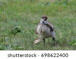 Egyptian Goose  Alopochen...