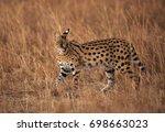 Serval Wild Cat  Masai Mara