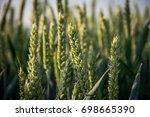 green wheat ears    Shutterstock . vector #698665390