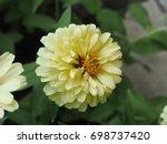 Zinnia Creamy Yellow With...