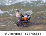 Harlequin Ducks At Le Hardy...