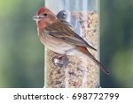 Mohawk Red House Finch