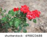 red rose perennial shrub  genus ... | Shutterstock . vector #698823688