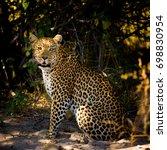 leopard female sitting on... | Shutterstock . vector #698830954