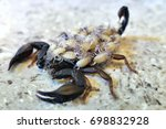 a female scorpion carrying its...   Shutterstock . vector #698832928