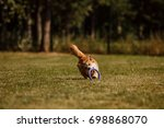 the corgi dog runs on the grass  | Shutterstock . vector #698868070