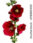 Bright Red Large Flowers Mallo...