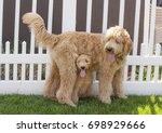 A Small Goldendoodle Puppy ...