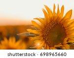 sunflower on the field ... | Shutterstock . vector #698965660