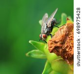 Small photo of Tachinidae insect