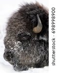 Small photo of American Bison (Bison bison) close up portrait covered with snow and ice, Lamar Valley, Yellowstone National Park, Montana, Wyoming, USA