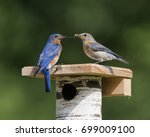 Male Eastern Bluebird Feeding...