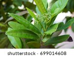 Small photo of Allspice Tree, Pimenta dioica, Jamaica pimento, Myrtle pepper, Turkish yenibahar