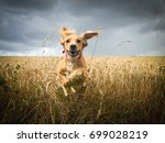 Stock photo  golden cocker spaniel dog running through a field of wheat 699028219