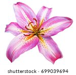 Stock photo day lily flower pink drawing oriental hybrids 699039694