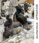 Small photo of An adult Shag, sea bird, with chicks at the Farne Islands, Northumberland, Engalnd, UK.