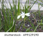 Small photo of Amana flower plant