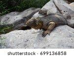land iguana on santa fe island  ... | Shutterstock . vector #699136858