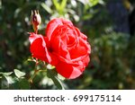 the wet rose with the rose bud | Shutterstock . vector #699175114