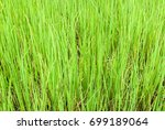 soothing green rice planting... | Shutterstock . vector #699189064