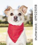 chihuahua outdoor portrait | Shutterstock . vector #699225058