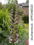 Small photo of Acanthus spinosus (Spiny Bear's Breech) in a Country Cottage Garden in Rural Devon, England, UK