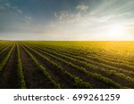 agricultural soy plantation on ... | Shutterstock . vector #699261259