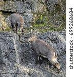 Small photo of Alpine ibex kids