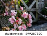 Pink Wild Roses Grow With A...
