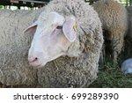 sheep in pen at farm