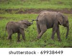 Young Elephants Playing  The...