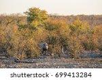 black rhino  diceros bicornis ... | Shutterstock . vector #699413284